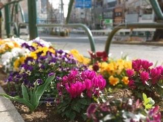 花,春,屋外,東京,ピンク,赤,白,カラフル,紫,黄色,道路,植木,パンジー,都内,草木,シクラメン