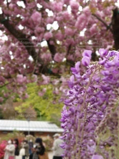 藤と桜、春満開の写真・画像素材[4339695]