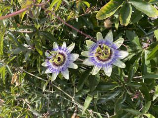 花,紫トケイソウ
