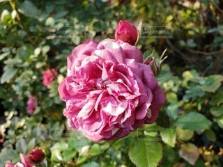 大輪のバラの写真・画像素材[3905574]