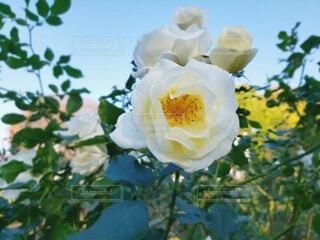 白い薔薇の写真・画像素材[3990643]