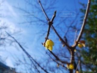 咲き始めの蝋梅の写真・画像素材[4377653]