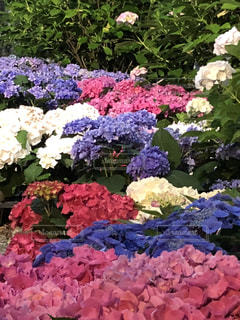 花,植物,あじさい,色とりどり,紫陽花,梅雨