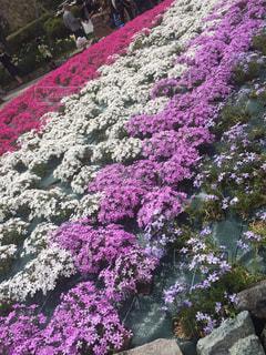 大きな紫色の花は、庭の写真・画像素材[1267614]