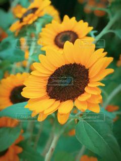 花,夏,植物,ひまわり,黄色,夏バテ