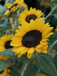近くに黄色い花のアップの写真・画像素材[1369375]
