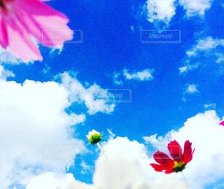 花,コスモス,青空,秋桜