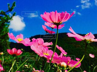自然,空,花,秋,ピンク,コスモス,秋桜