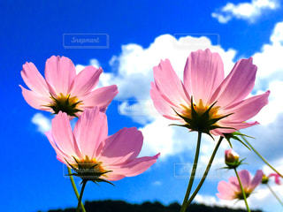 自然,空,花,秋,ピンク,コスモス,青空,秋桜