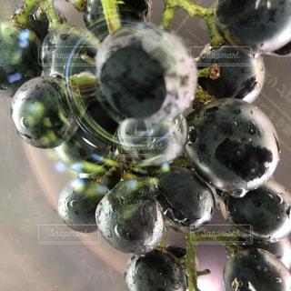 秋,フルーツ,果物,葡萄,ぶどう狩り,ぶどう