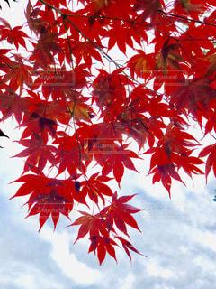 木の赤い花が付いている植物の写真・画像素材[1623219]