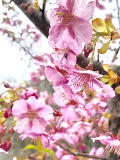 桜,京都,ピンク,枝,お花見,河津桜
