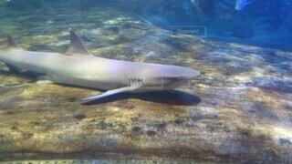サメの写真・画像素材[3904790]