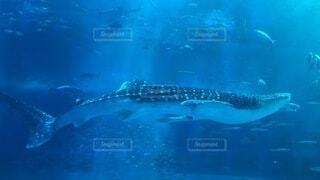 ジンベイザメの写真・画像素材[3905161]