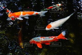 秋の池で泳ぐ錦鯉たちの写真・画像素材[3973262]