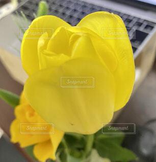 黄色いチューリップの写真・画像素材[4295092]