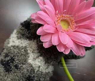 ピンクのガーベラの写真・画像素材[4313554]