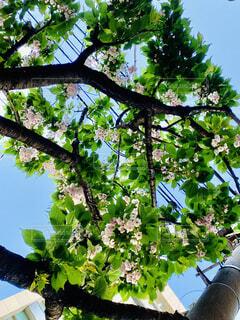 葉桜の写真・画像素材[4329250]