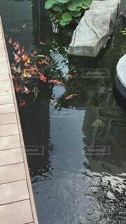 魚,屋外,赤,白,カラフル,水面,水辺,池,コイ,金色,鯉,さかな,こい
