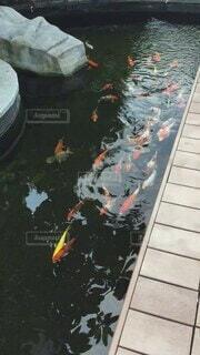 魚,屋外,赤,白,カラフル,水面,水辺,池,コイ,金色,テキスト,鯉,さかな,こい,黒色,ひれ