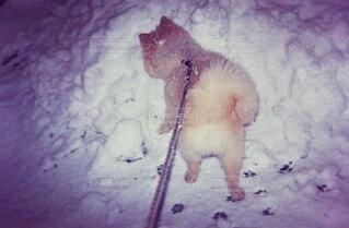 ポメラニアンと雪の写真・画像素材[3909407]