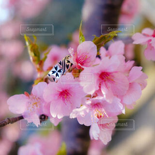 花,春,桜,指輪,リング,河津桜,草木