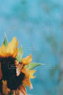 終わりかけの向日葵の写真・画像素材[3932221]