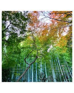 竹林と紅葉の写真・画像素材[3977499]