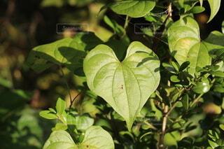 ハート型の葉の写真・画像素材[3940054]