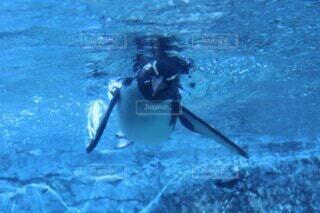 泳ぐペンギンの写真・画像素材[4884652]