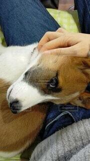犬,動物,屋内,かわいい,茶色,寝る,人物,人,撫でる,子犬,縦,なでなで,なでる