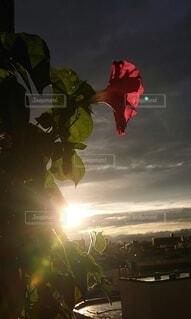 アサガオと夕陽の写真・画像素材[4550705]