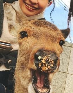 鼻に葉っぱをつけながら笑う鹿の写真・画像素材[3933834]