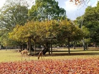 秋の奈良公園の写真・画像素材[3933851]