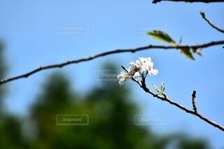 秋に咲いた桜の写真・画像素材[3933840]