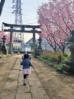 神社の桜の写真・画像素材[4279158]
