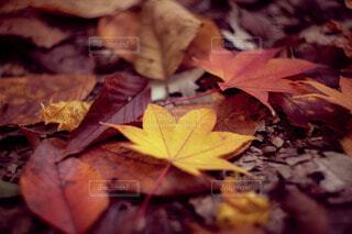 落ち葉の紅葉の写真・画像素材[3939370]
