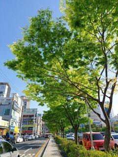 街路樹の新緑の写真・画像素材[4408505]