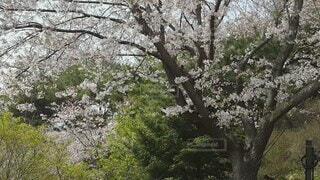 花,春,森林,屋外,樹木,草木,桜の花,さくら,ブロッサム,桜散る,散り際も美しく