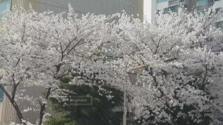 花,春,屋外,道路,家,樹木,通り,草木,桜の花,さくら,ブロッサム,桜散る,散り際も美しい