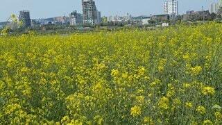 空,花,春,屋外,黄色,菜の花,景色,草,菜の花畑,草木
