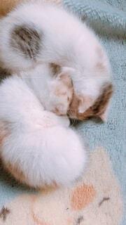 2匹のふわふわ子猫が寄り添って寝ているの写真・画像素材[3944154]