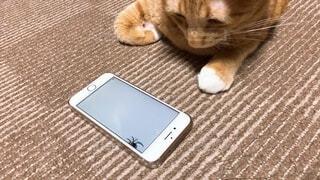 スマートフォンを見ている猫の写真・画像素材[3956664]