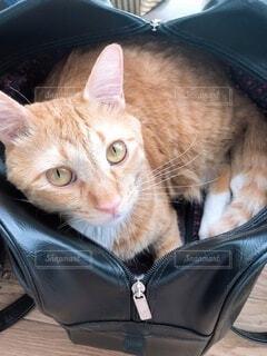 スクールバッグに入っている猫の写真・画像素材[3956672]