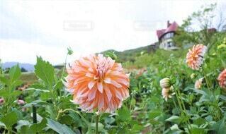 可愛いオレンジのダリア 花のクローズアップの写真・画像素材[3944401]