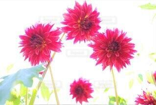 秋田国際ダリア園のダリア 花のクローズアップの写真・画像素材[3944400]