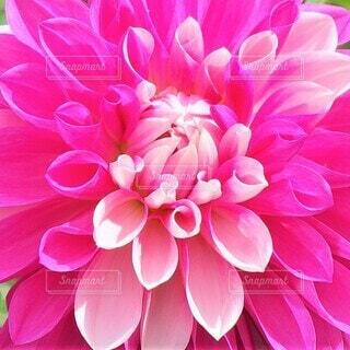 2色のピンクダリア 花のクローズアップの写真・画像素材[3960883]