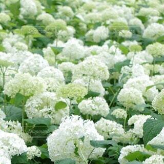 沢山の白い紫陽花の花の写真・画像素材[4052371]