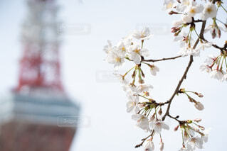 東京タワーと桜の写真・画像素材[4295404]
