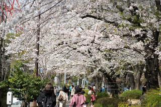 お花見日和の写真・画像素材[4295407]